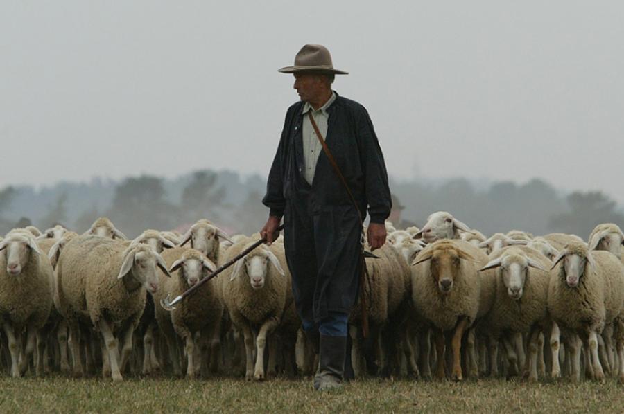 Image result for shepherd sheep