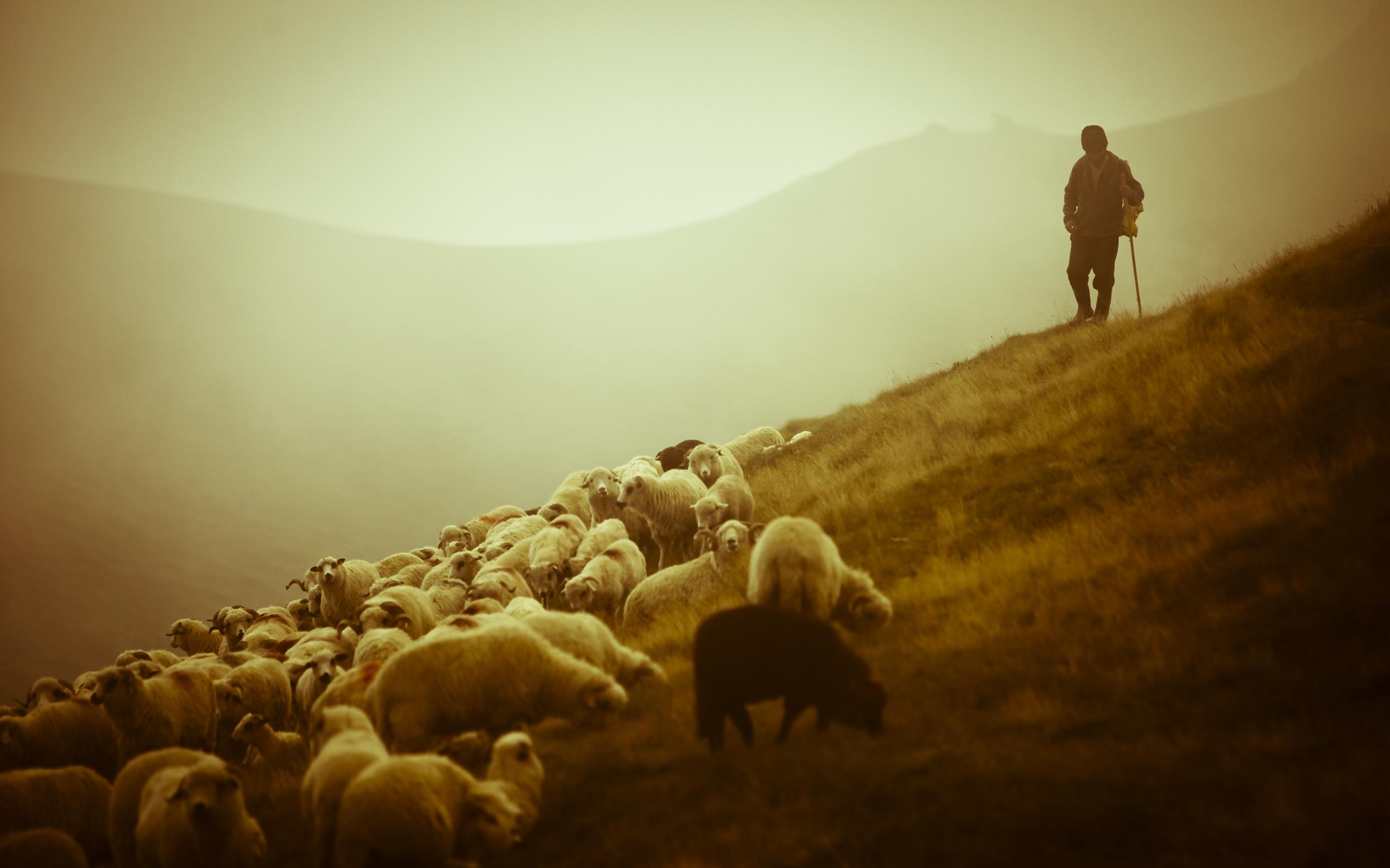 shepherd sheep 12