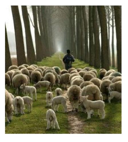 Shepherd And Sheep Relationships 1 We