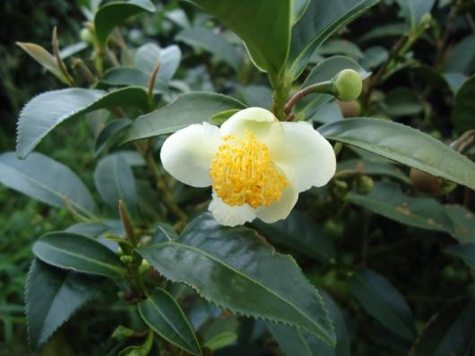 Oolong tea flower