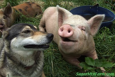 dogs pigs 1