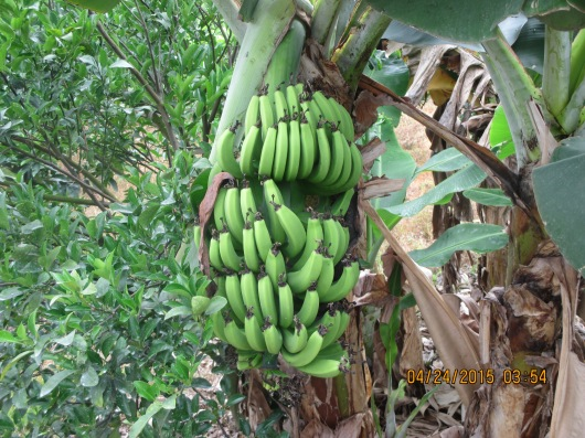 Fruits are also abundant. Bananas grow along the foot paths.